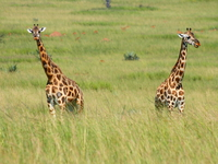 070925152311_giraffe_lovers