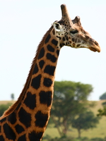 five horned rothschild giraffe in uganda Murchison Falls, East Africa, Uganda, Africa