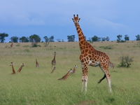 view--rothschild giraffe and his family Murchison Falls, East Africa, Uganda, Africa