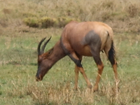 topi and hartebeest Mwanza, East Africa, Tanzania, Africa