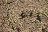 group of grasshoppers predicting rain Mtae, East Africa, Tanzania, Africa