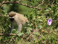 070923101839_vervet_monkey_along_river_nile