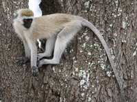 071002124929_regret_of_vervet_monkey
