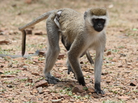 vervet monkey mom and son Mwanza, East Africa, Tanzania, Africa