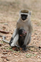 071002125333_vervet_monkey_love