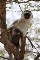 vervet monkey family tie Mwanza, East Africa, Tanzania, Africa