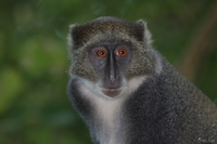 view--vervet monkey closeup Diani Beach, East Africa, Kenya, Africa