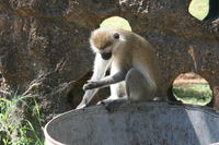 vervet monkey reading Mombas, East Africa, Kenya, Africa