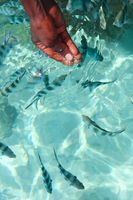 071010103355_feeding_zebra_fish