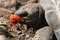 071005153831_turtle_eating_tomato