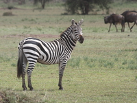 zebra on guard Mwanza, East Africa, Tanzania, Africa
