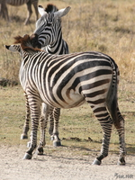 071004081433_view--zebras_kissing