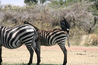 071004114512_zebra_and_raven_friend