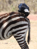 071004114554_zebra_and_raven_friend