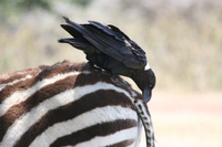 071004114627_zebra_and_raven_friend