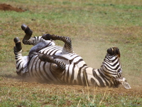 071002152650_view--zebra_roll_roll_roll