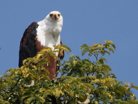 african_fish_eagles