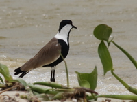 070929125309_blacksmith_lapwing