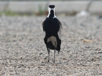 070930090904_blacksmith_lapwing