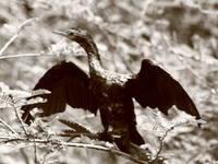 070923105520_cormorant_drying_its_wings