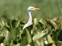 view--cattle egret on water hyacinth Kisumu, East Africa, Kenya, Africa