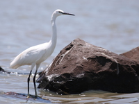 070920120956_little_egret