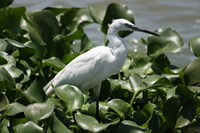 070920121415_little_egret