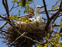 view--baby little egret in nest Jinja, East Africa, Uganda, Africa