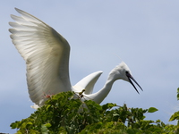 view--great egret takes off Jinja, East Africa, Uganda, Africa