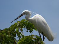 070923122315_great_egret