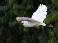 070923134318_flying_egret