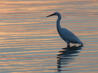 view-egret in sunset Kampala, Enteppe, Bugala Island, East Africa, Uganda, Africa