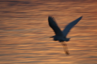 070928183832_egret_flying