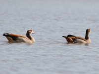 070920091335_egyptian_geese