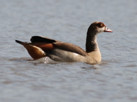 070920091653_egyptian_geese