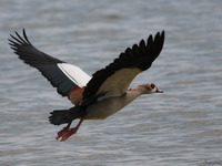 view--flying egyptian goose Bugala Island, East Africa, Uganda, Africa