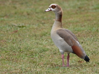 070929125857_standing_egyptian_goose