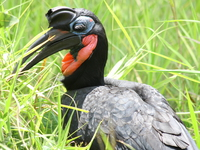 070925125408_abyssinian_ground_hornbill
