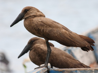 070929124009_view--hammerkop_husband_and_wife