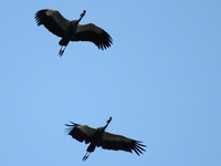 two marabou storks flying Jinja, East Africa, Uganda, Africa