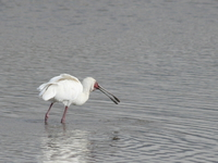 spoonbill Ngorongoro Crater, Arusha, East Africa, Tanzania, Africa