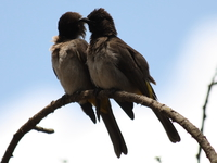 unknown love birds Serengeti, Ngorongoro, East Africa, Tanzania, Africa