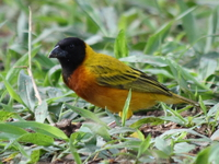 black-headed weaver Murchison Falls, East Africa, Uganda, Africa