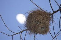 071003061818_weaver_nest_and_the_moon