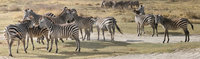 071004081419_zebras_of_ngorongoro