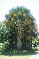 giant palm tree Mombas, East Africa, Kenya, Africa