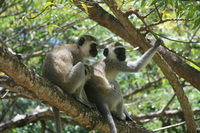 vervet monkey couple Mombas, East Africa, Kenya, Africa