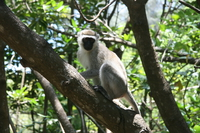 071011122334_male_vervet_monkey