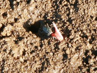 crab with red claw Shimoni, East Africa, Kenya, Africa