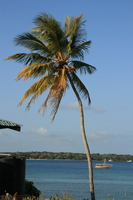 palm tree Shimoni, East Africa, Kenya, Africa